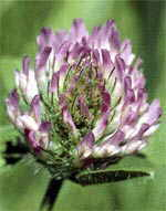 Red Clover can contribute to Premenstrual Syndrome ( PMS )